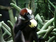 Chimpansee het bijten Royalty-vrije Stock Afbeelding