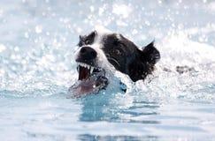 Het bijten van de hond bij het water terwijl het zwemmen Stock Afbeeldingen