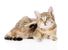 Het binnenlandse kat krassen Geïsoleerdj op witte achtergrond Royalty-vrije Stock Fotografie