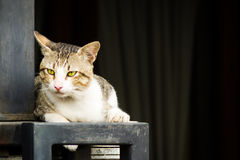 Het binnenlandse kat liggen Stock Fotografie