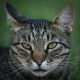 Het binnenlandse portret van het kattengezicht royalty-vrije stock afbeeldingen