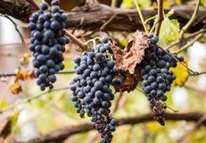 Het bio blauwe druiven hangen stock foto