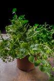 Het biobeeld van het oregoproduct Stock Afbeeldingen