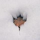 Het Blad dat van de esdoorn in Sneeuw smelt Stock Fotografie