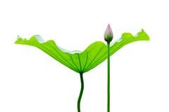 Het blad en de knop van Lotus Stock Foto's