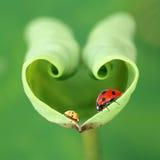 Het blad en de lieveheersbeestjes van Lotus Stock Afbeeldingen