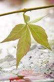 Het blad en de regendalingen van de wijnstok Royalty-vrije Stock Afbeelding
