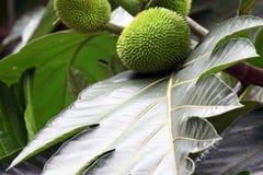 Het blad en het fruit van installaties in de wildernissen van Costa Rica stock afbeelding