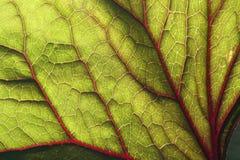 Het blad van Backlite van ligularia Stock Afbeeldingen