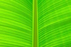 Het blad van Banan Royalty-vrije Stock Afbeeldingen