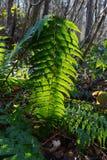 Het blad van de adelaarsvarenvaren, backlit door de zon in bos royalty-vrije stock foto's