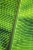 Het blad van de banaan Stock Fotografie
