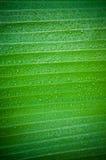Het blad van de banaan. Stock Fotografie