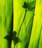 Het blad van de banaan Stock Foto