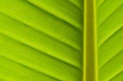 Het blad van de banaan Royalty-vrije Stock Afbeelding