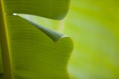 Het Blad van de banaan Stock Afbeeldingen