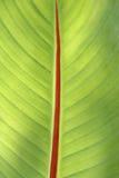 Het blad van de banaan Stock Afbeelding