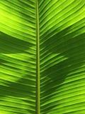 Het blad van de banaanboom stock fotografie