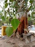 Het blad van de Banyanboom stock foto's