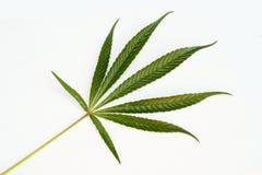 Het blad van de cannabis op witte backgro stock foto