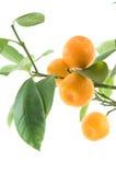 Het blad van de citrusvrucht Stock Afbeeldingen