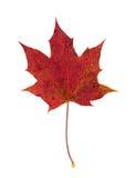 Het blad van de de herfstesdoorn Stock Afbeelding