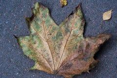 Het blad van de de herfstesdoorn op asfalt Stock Foto's