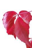 Het blad van de druif Royalty-vrije Stock Afbeelding