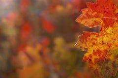 Het blad van de druif in de herfst stock foto
