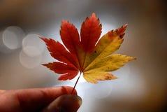 Het blad van de esdoorn, de herfst Stock Afbeeldingen