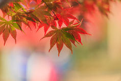 Het blad van de esdoorn in de herfst Royalty-vrije Stock Fotografie