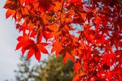 Het blad van de esdoorn in de herfst Stock Afbeelding