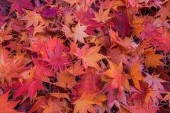 Het blad van de esdoorn in de herfst Royalty-vrije Stock Foto's