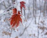 Het blad van de esdoorn in de winter. Royalty-vrije Stock Foto