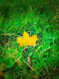 Het blad van de esdoorn in gras Stock Afbeeldingen