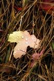 Het blad van de esdoorn in het gras Stock Fotografie