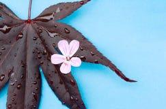 Het blad van de esdoorn met roze bloem op aqua Stock Afbeeldingen