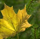 Het blad van de esdoorn `s op de tak van de spar`s boom. Royalty-vrije Stock Afbeelding