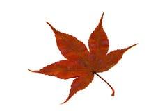 Het Blad van de Esdoorn van de herfst Stock Foto