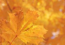 Het blad van de esdoornboom bij daling royalty-vrije stock afbeeldingen