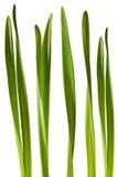 Het Blad van de Gele narcis van de lente dat op Witte Achtergrond wordt geïsoleerdi Stock Fotografie