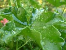 Het blad van de geranium met water laat vallen 1 Stock Afbeeldingen