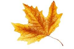 Het blad van de herfst. Stock Afbeelding