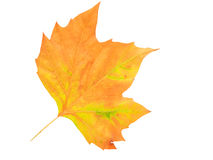 Het blad van de herfst dat op witte achtergrond wordt geïsoleerd= Royalty-vrije Stock Afbeelding