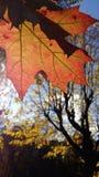 Het blad van de herfst De grootte van het beeld XXXL Stock Afbeeldingen