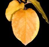 Het blad van de herfst De grootte van het beeld XXXL Close-up Stock Foto