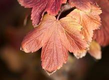 Het blad van de herfst De grootte van het beeld XXXL Close-up Stock Afbeeldingen