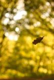 Het blad van de herfst het vallen Stock Afbeelding
