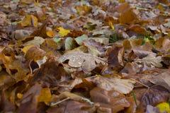 Het blad van de herfst in de ochtend Stock Afbeeldingen