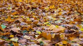Het blad van de herfst in de ochtend Stock Foto's